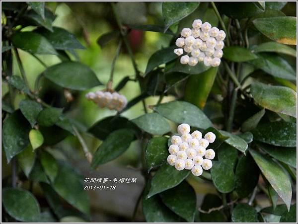 2013-01-毛帽毬蘭3