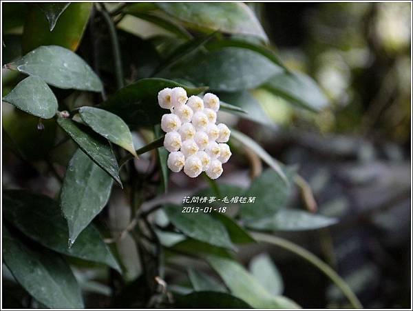 2013-01-毛帽毬蘭4