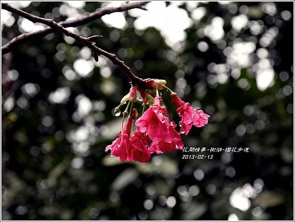 2013-02-樹湖-櫻花步道3