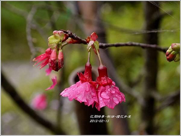 2013-02-樹湖-櫻花步道14