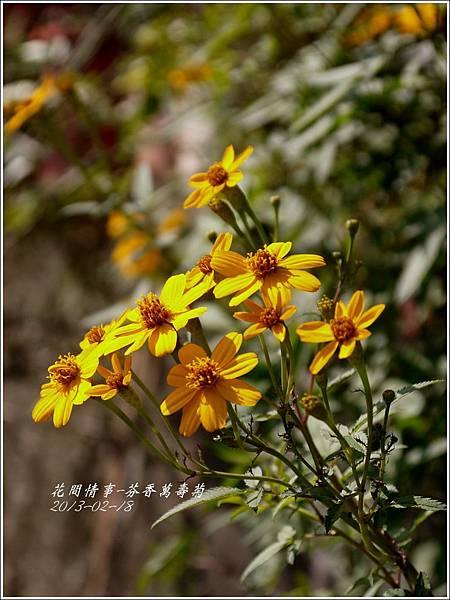 2013-02-芬香萬壽菊8