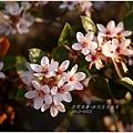 2013-03-田代氏石斑木3