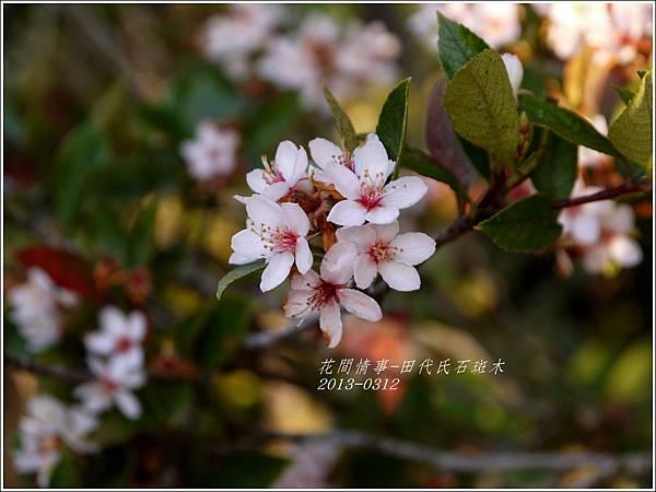 2013-03-田代氏石斑木5
