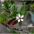 2013-03-田代氏石斑木11