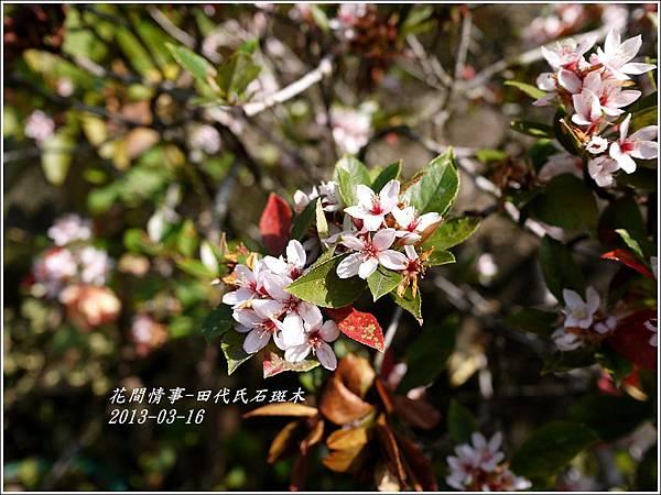 2013-03-田代氏石斑木7