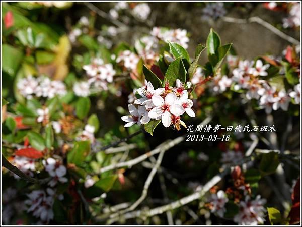 2013-03-田代氏石斑木8