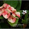 2013-03-田代氏石斑木9