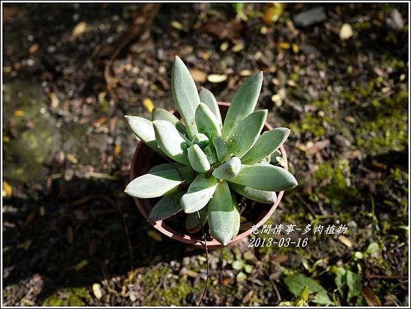 2013-03-多肉植物2