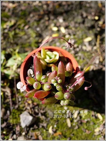 2013-03-多肉植物7