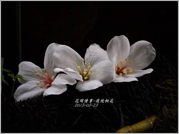 2013-03-後院桐花4