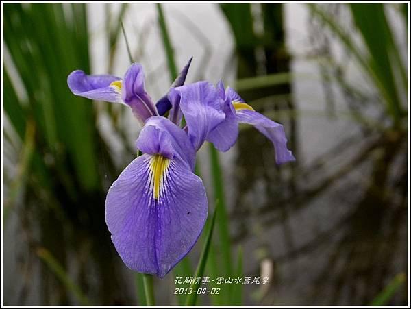 2013-04-雲水山鳶尾季15
