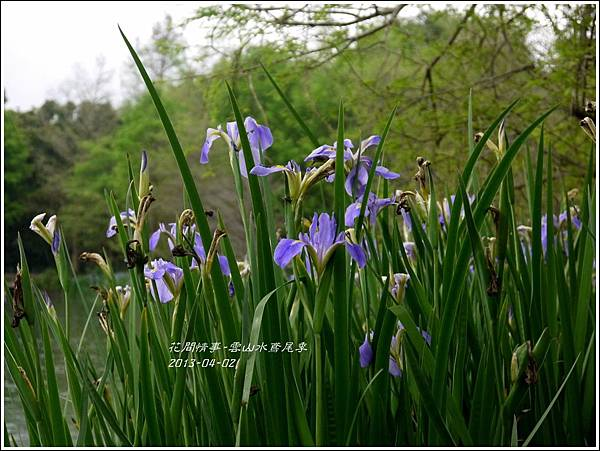 2013-04-雲水山鳶尾季20