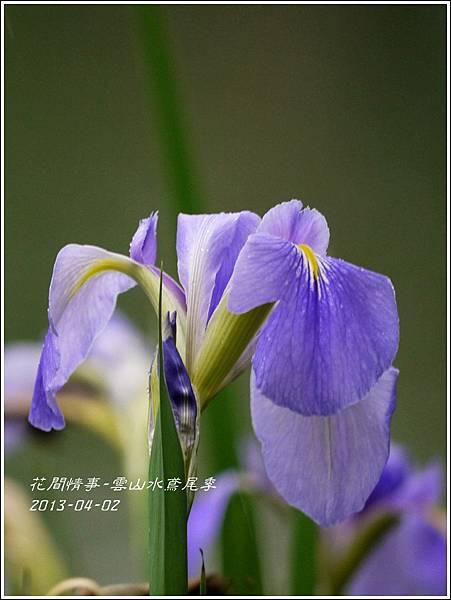 2013-04-雲水山鳶尾季25