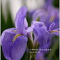 2013-04-雲水山鳶尾季26