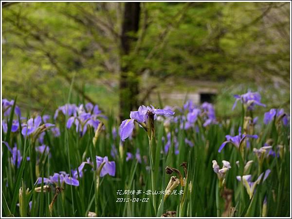 2013-04-雲水山鳶尾季27