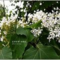 2013-04-油桐花1
