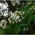 2013-04-油桐花7
