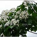 2013-04-油桐花11