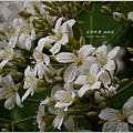 2013-04-油桐花15