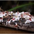 2013-04-油桐花16