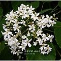 2013-04-油桐花18