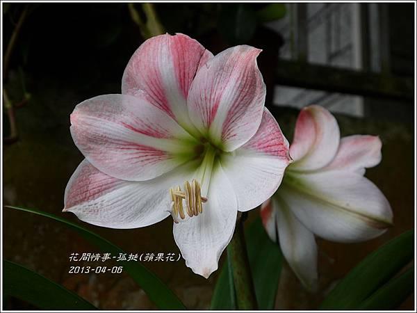 2013-04-孤挺(蘋果花)1