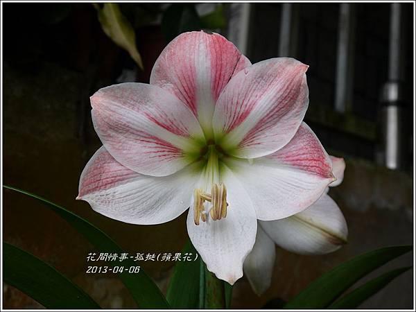 2013-04-孤挺(蘋果花)2
