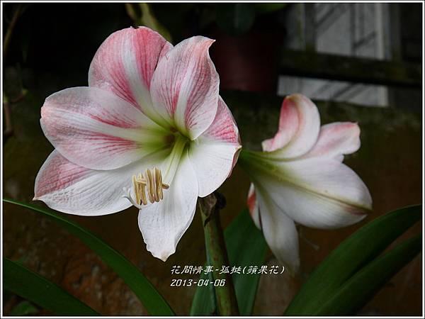2013-04-孤挺(蘋果花)4