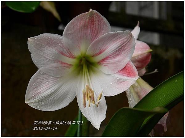 2013-04-孤挺(蘋果花)5