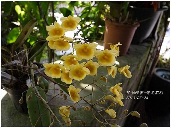 2013-04-黃金石斛3