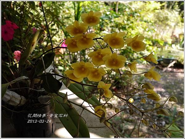 2013-04-黃金石斛4