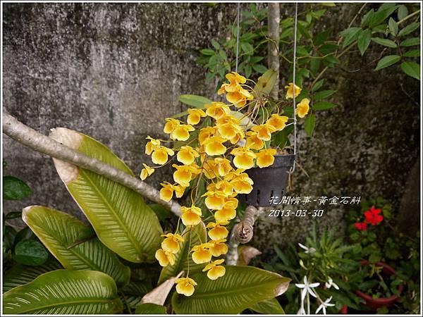 2013-04-黃金石斛7