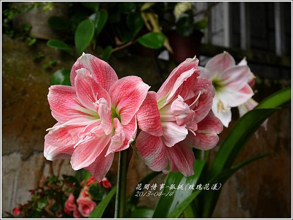 2013-04-孤挺(玫瑰花漾)4