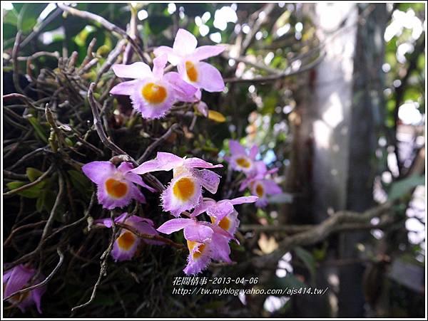 2013-05-小天宮石斛3