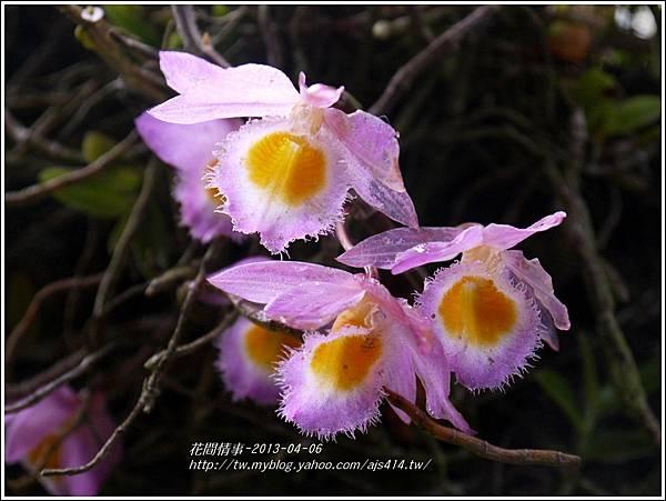 2013-05-小天宮石斛4