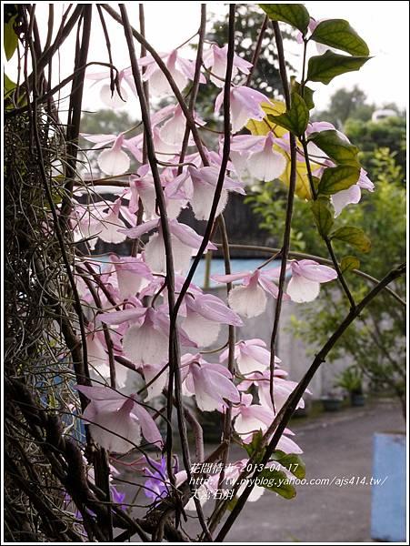 2013-05-天宮石斛2