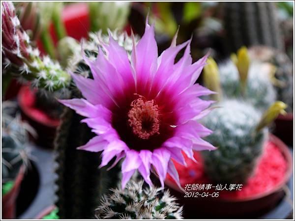 2013-05-仙人掌花3