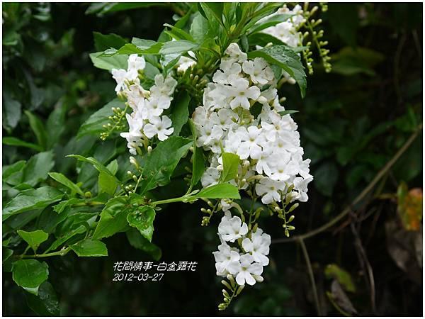 2013-05-白金露花1