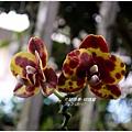 2013-05-蝴蝶蘭6