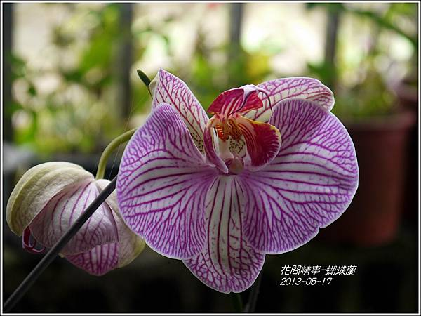 2013-05-蝴蝶蘭8