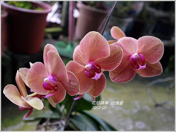 2013-05-蝴蝶蘭11