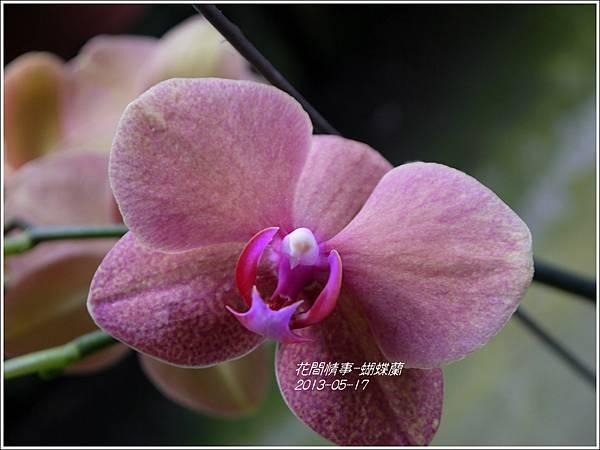 2013-05-蝴蝶蘭12