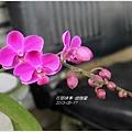 2013-05-蝴蝶蘭13