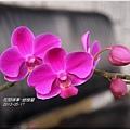 2013-05-蝴蝶蘭14