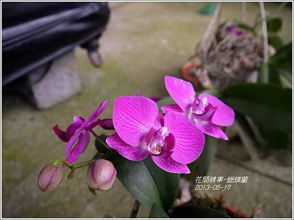 2013-05-蝴蝶蘭20