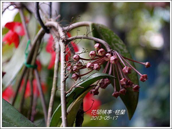 2013-05-毬蘭7