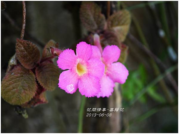 2013-06-喜蔭花11