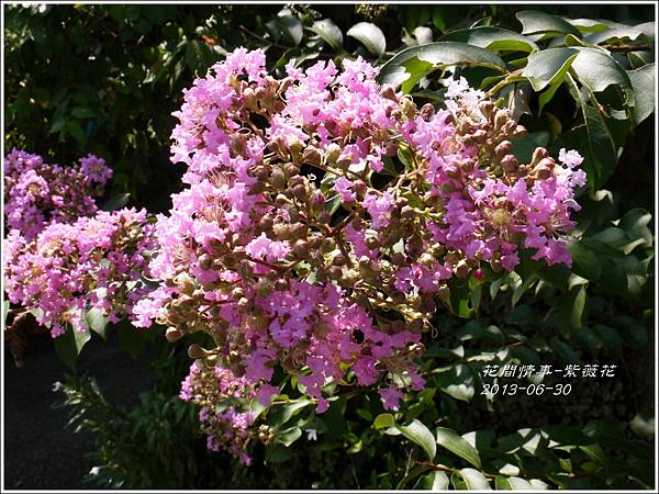 2013-07-紫薇花13.jpg
