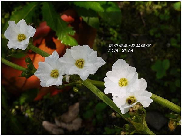 2013-07-象耳澤瀉8.jpg