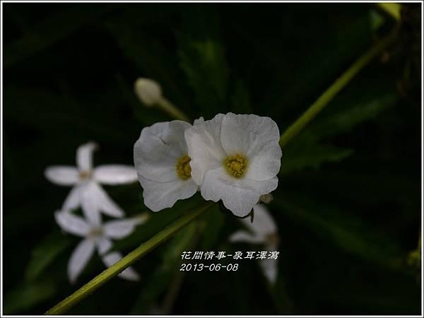 2013-07-象耳澤瀉9.jpg